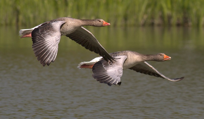 Two greylag geese at RSPB Fowlmere, Cambridgeshire