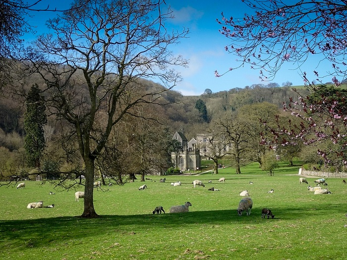 View of spring gardens with sheep at Ilam Park, Peak District