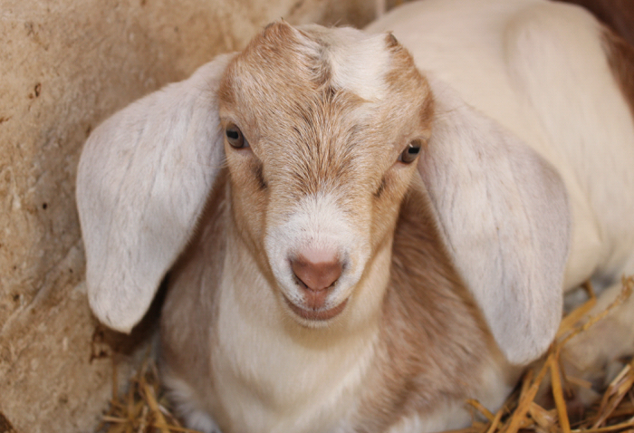 Close up of baby goat at Windmill Hill City Farm, Bristol