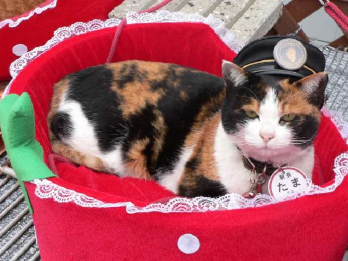 Station Master Tama the cat reclines in a red, felt basket wearing her station master hat