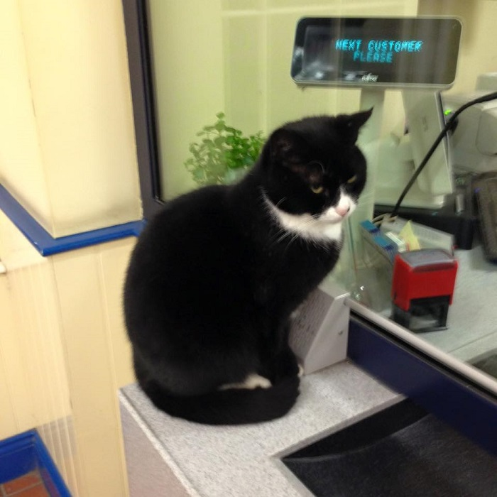 Jess the black cat with white face and chest markings in the shape of a tuxedo sitting next to the till at the ticket counter.