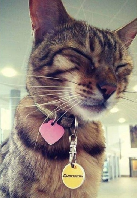 Paul the tortoise shell cat sitting in the station with a pink heart collar tag and a yellow name disc with his eyes closed