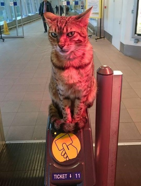 Paul the tortoise shell train station cat sat at the ticket gates at Liverpool South Parkway Station