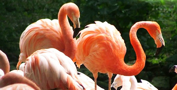 Some of the famous flamingos at  Flamingo Land, York.