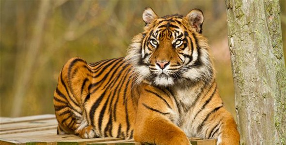 Sumatran tiger at Flamingo Land, York.