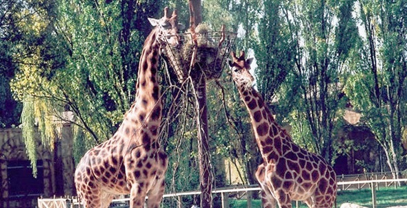 Giraffes eating at Flamingo Land, York.