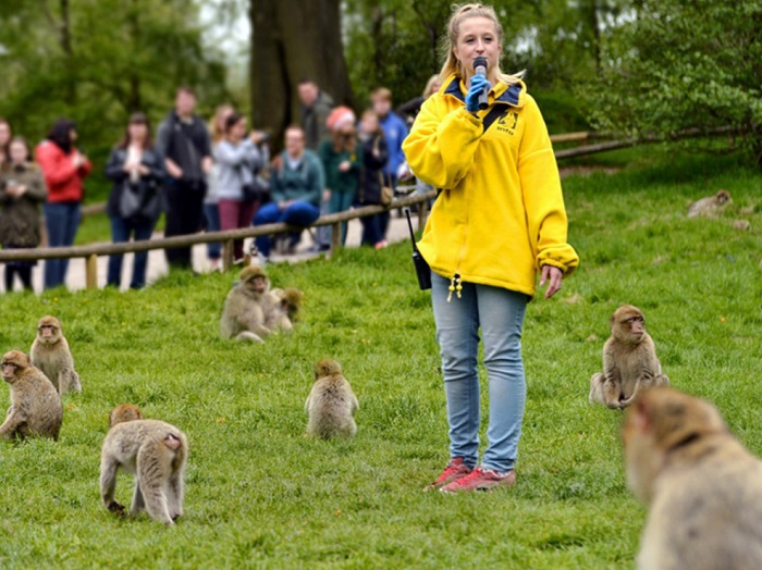 Feeding time at Trentham Monkey Forest with a guide speaking with a microphone wearing a yellow jumper surrounded by nine macaques
