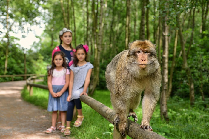 Large adult light brown macaque at Trentham Monkey Forest walking along a wooden hand railing next to woodland with three children watching behind