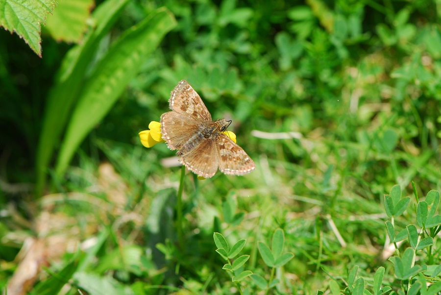 A brown butterfly sits on a yellow flower surrounded by greenery