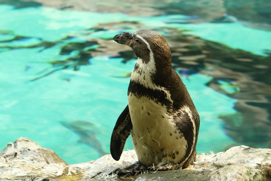 A penguin stands on a rock beside water at the Oceanarium in Bournemouth