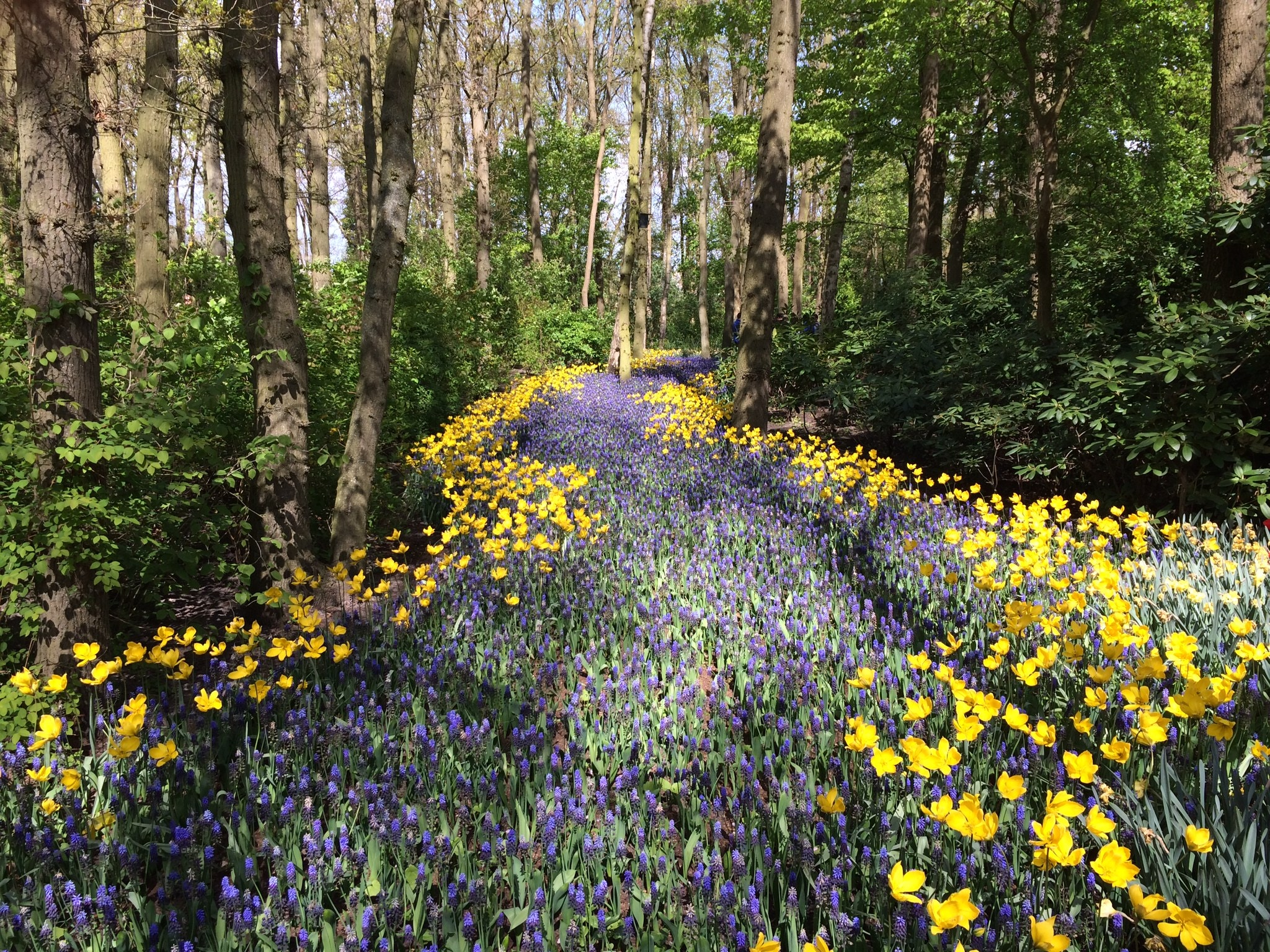 A woodland of green trees with a pathway running through the centre made up of purple hyacinth surrounded on both sides by yellow daffodils