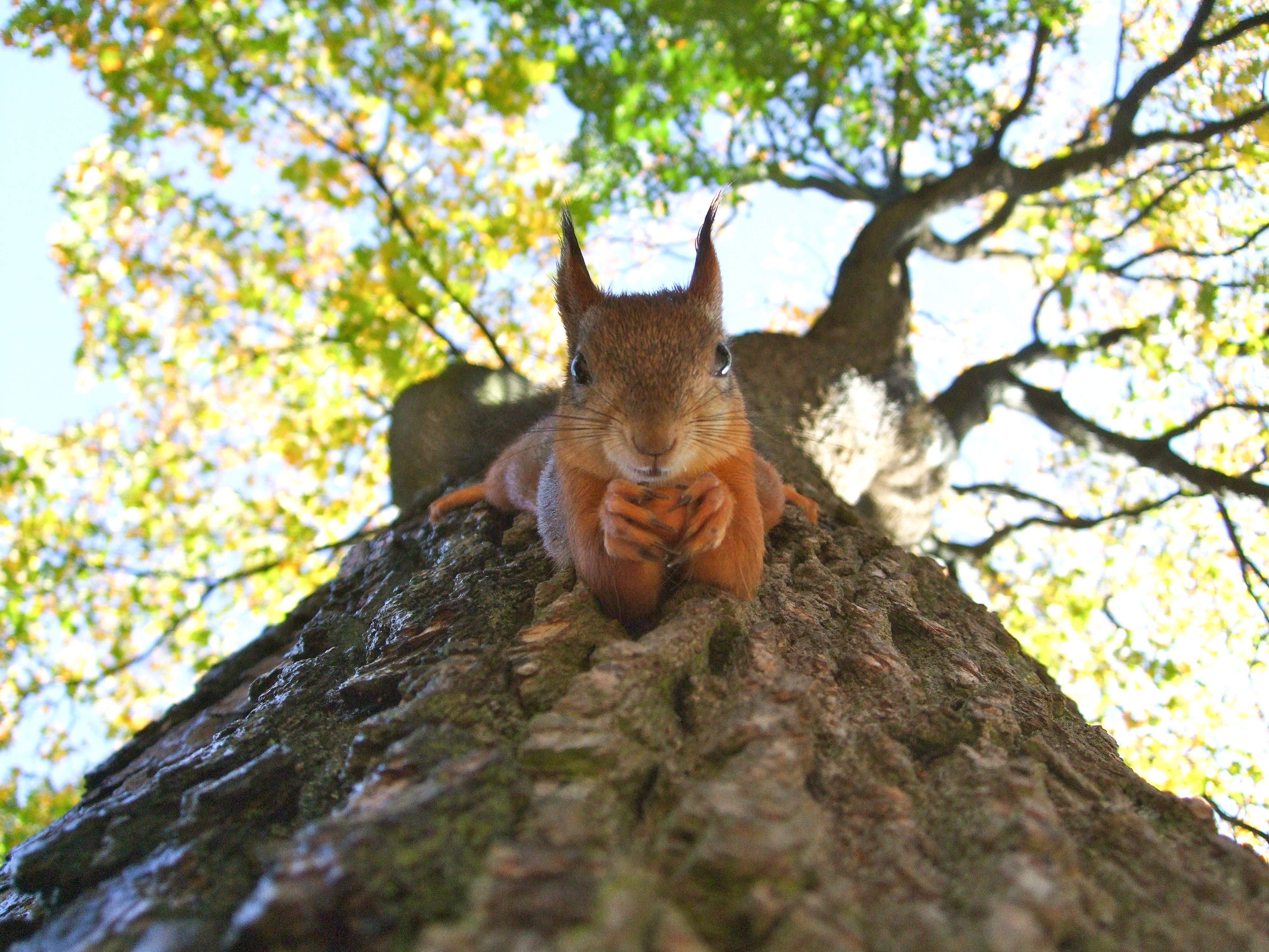 A red squirrel laying on a tree trunk with green branches above it, looking down at the camera with a nut in its paws