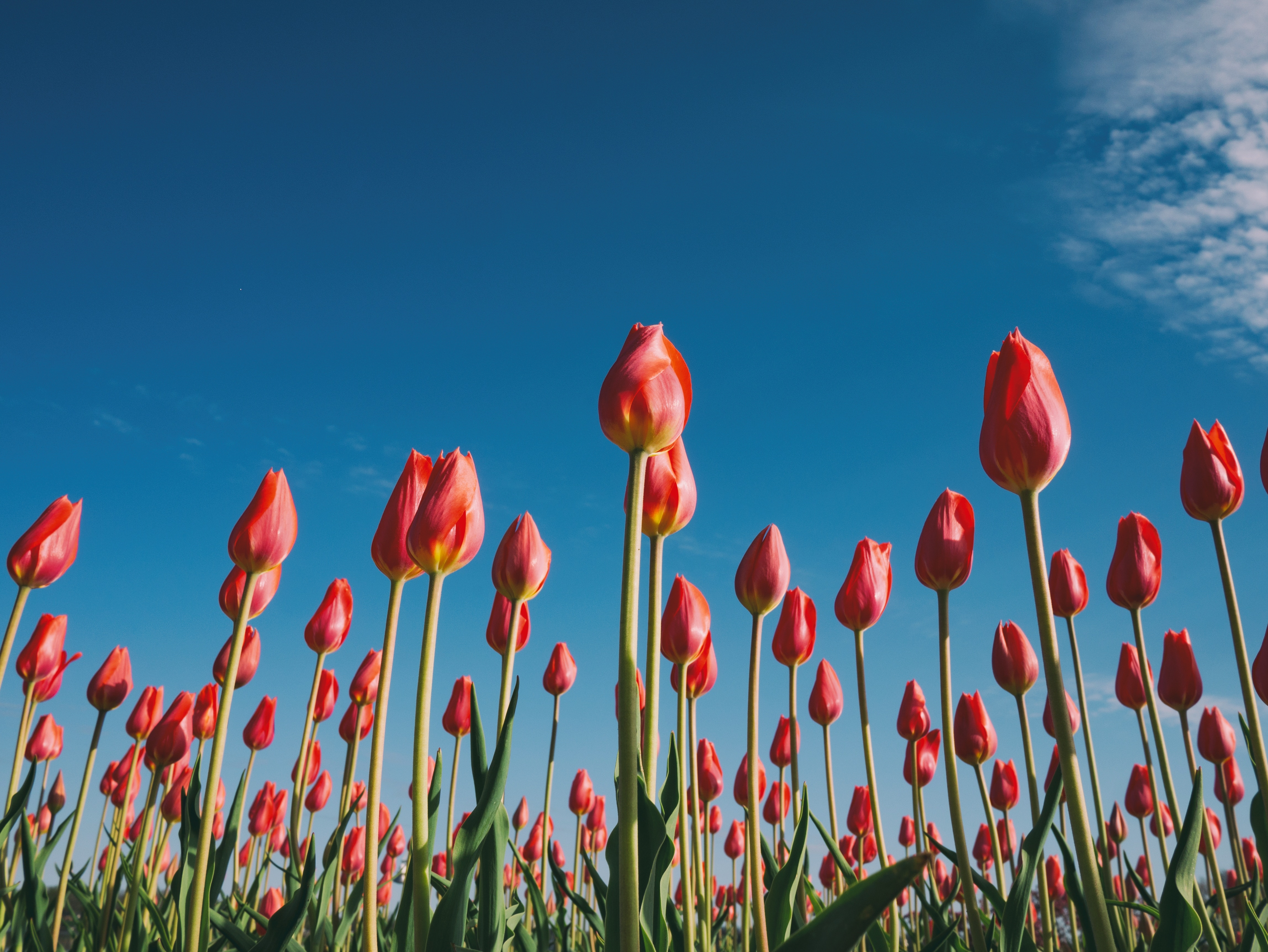 A close-up of a field of red tulips with green stems, with a backdrop of a clear blue sky