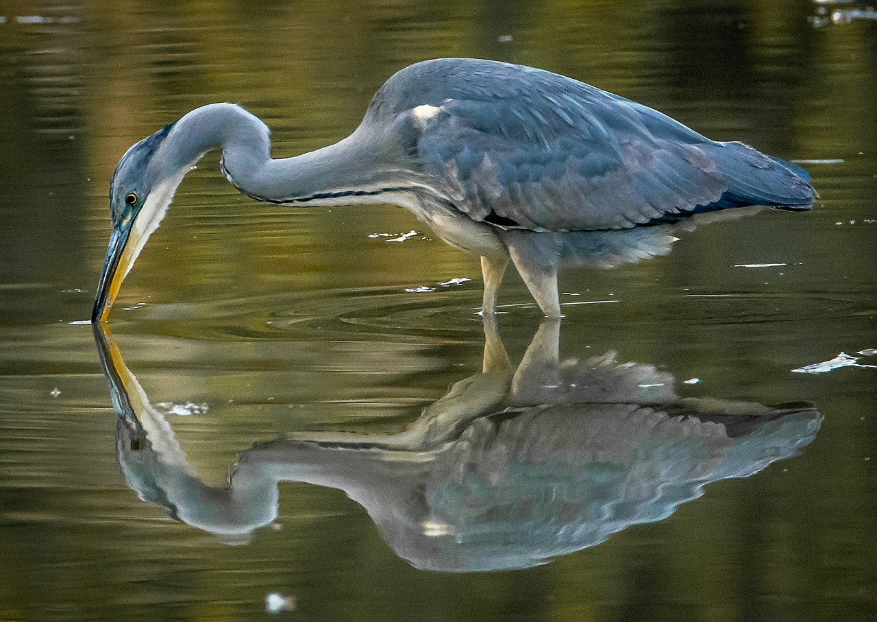 A close-up of a grey heron fishing, with a clear reflection of the bird shown in the water