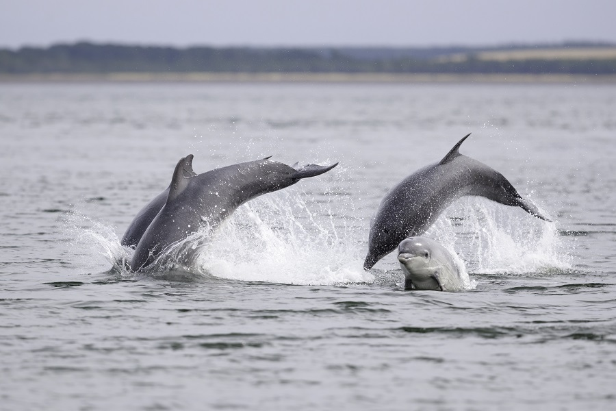 Seeing bottlenose dolphins splashing in the sea in Aberdeen is one of the best things to do in Scotland.