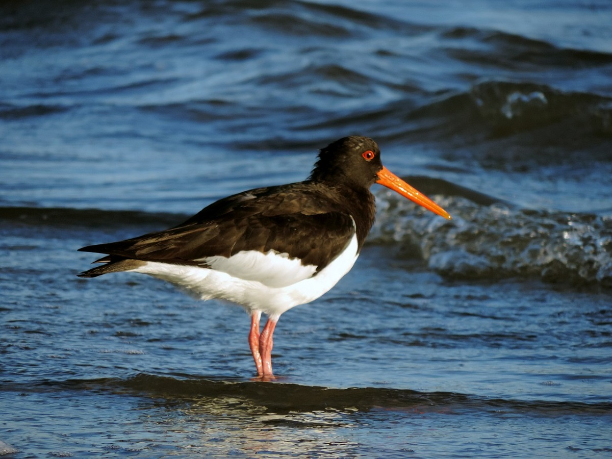 A close-up of a black and white oystercatcher with red legs and a red beak wading in shallow water