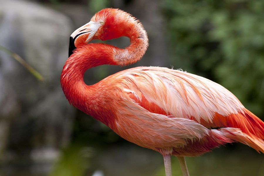 A pink flamingo stands in a wetland area.