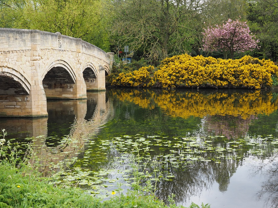 A bridge over a body of water at Abbey Park, Leicester with lily pads floating and a yellow bush on the bank.