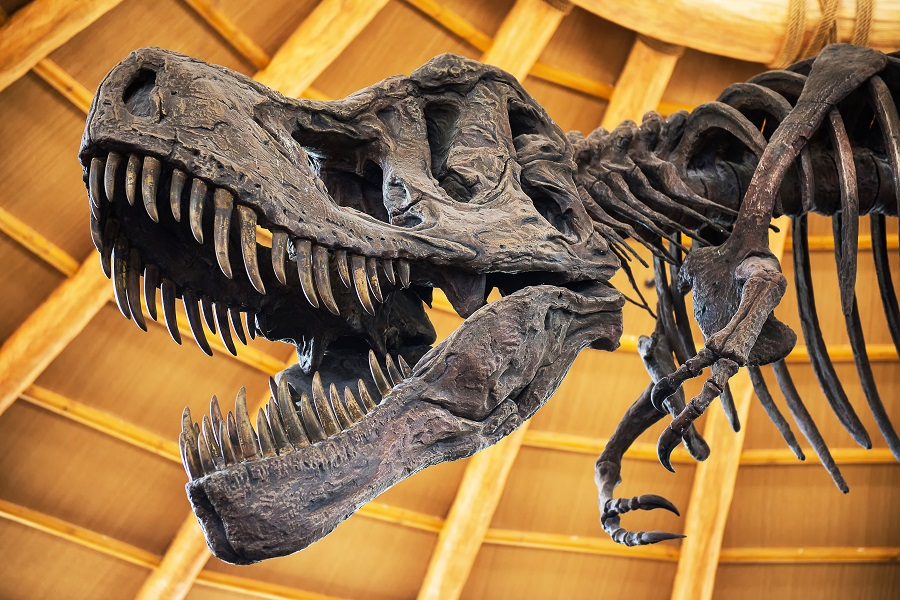 A close-up of a head of a Tyrannosaurus Rex skeleton with its huge sharp teeth on show