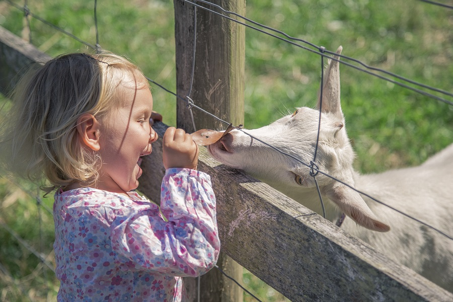 A little girl plays with a goat through a fence at Gorse Hill City Farm; one of the best things to do with kids in Leicester.