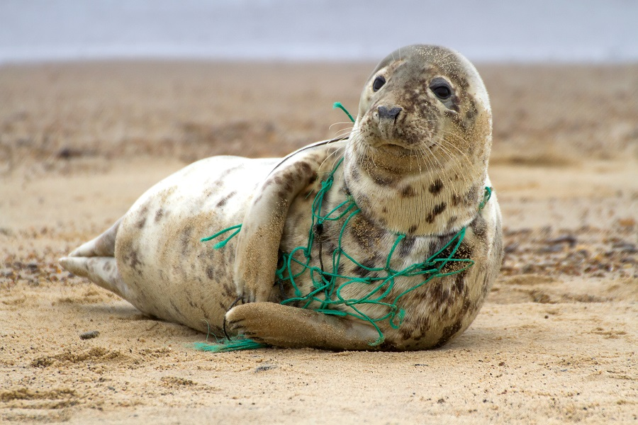 A seal on a British beach stuck in a fishing net is one of the reasons the Great British Beach Clean Up began