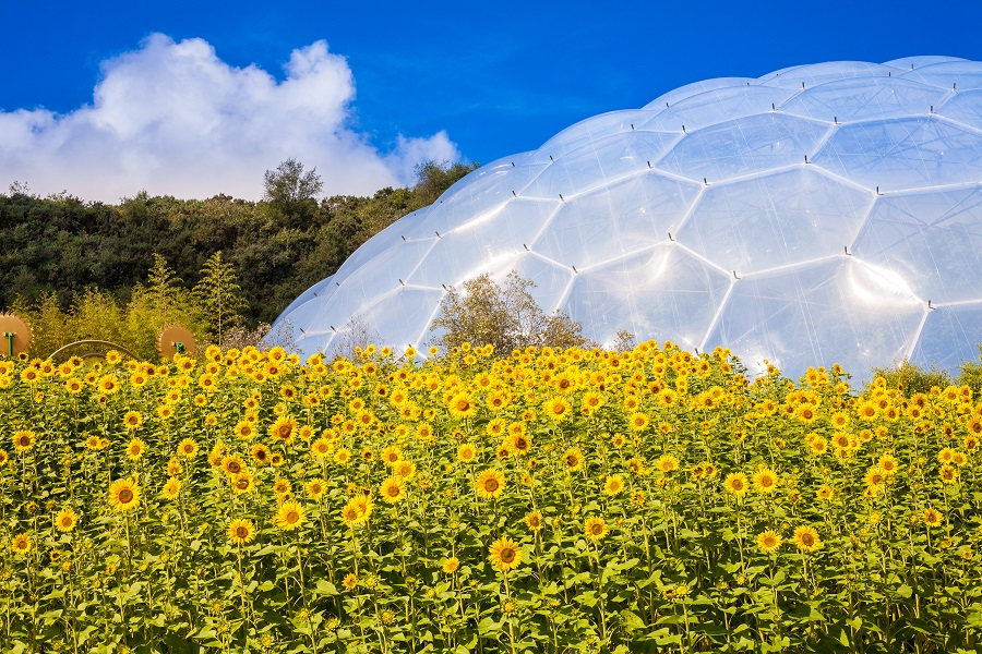 Sunflowers outside a biome at the Eden Project