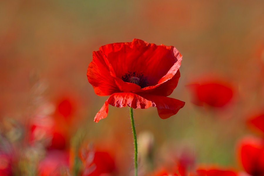 One single poppy in remembrance of the veterans who fought in WW1
