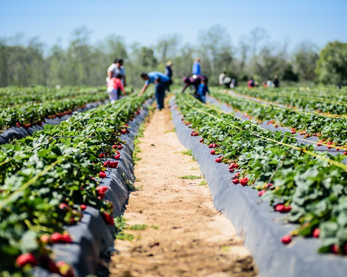 People amongst rows of strawberries at a pick your own strawberry farm.