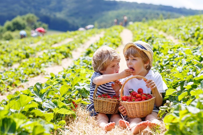 Two little boys sit in a strawberry farm feeding each other strawberries.