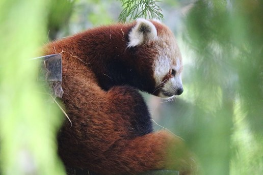 The red pandas at Paignton Zoo are a popular attraction in Devon.